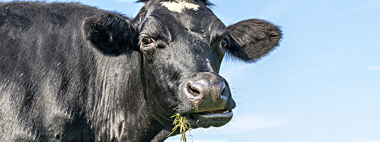 Cow Chewing Cud